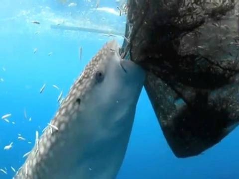 Βίντεο: Φάλαινα-καρχαρίας... κλέβει ψάρια από τα δίχτυα!