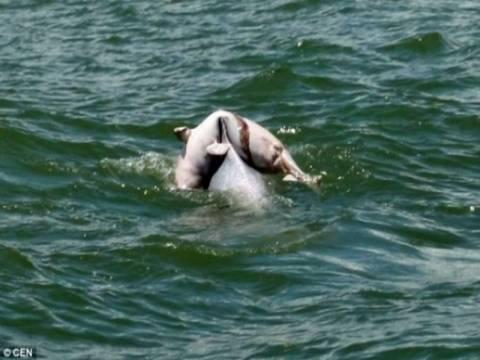 Συγκλονιστική εικόνα: Δελφίνι μεταφέρει το νεκρό μωρό του