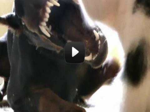 Βίντεο: Γατάκι εναντίον ντόμπερμαν