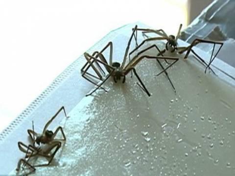 Σοκ: Δηλητηριώδεις αράχνες κατέλαβαν το διαμέρισμά του