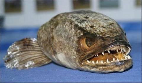 Έβρος: Ψάρεψε πιράνχας 45 εκατοστών