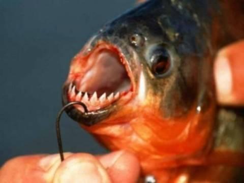 Ψαράς στον Έβρο έπιασε πιράνχας 45 εκατοστών;