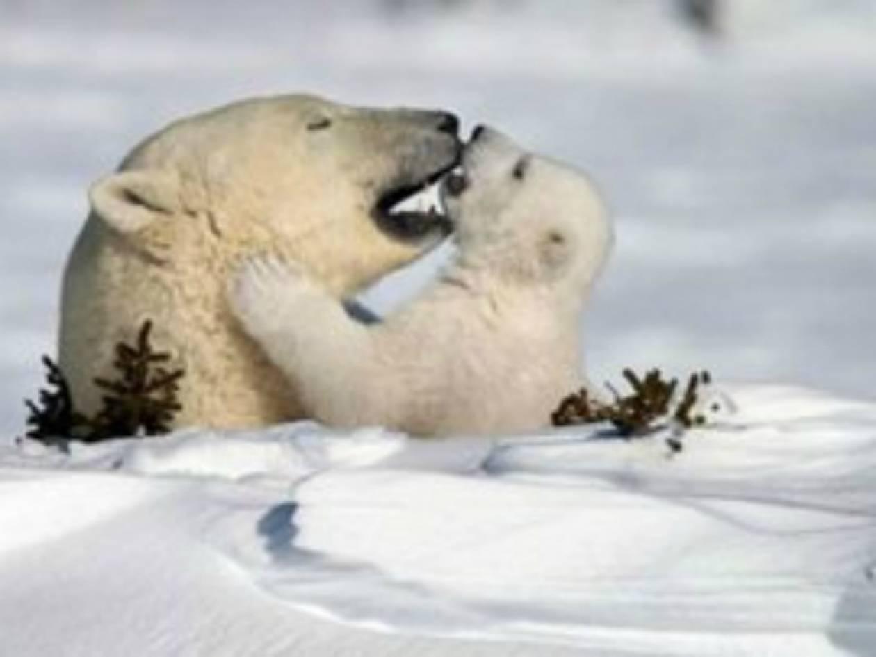 ΣΥΓΚΙΝΗΤΙΚΟ VIDEO: Πολική αρκούδα βοηθά μωρό να ανέβει στον πάγo!