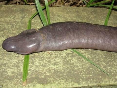 Φίδι που μοιάζει με ανδρικό μόριο (pic)