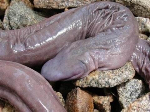 Ανακαλύφθηκε παράξενο αμφίβιο χωρίς μάτια και πνεύμονες στον Αμαζόνιο!