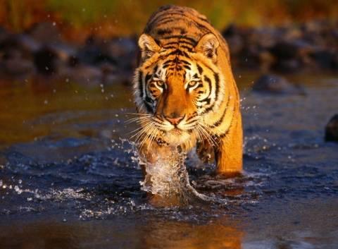 Ινδία: Οι τίγρεις απειλούνται από την ανάπτυξη του τομέα ενέργειας