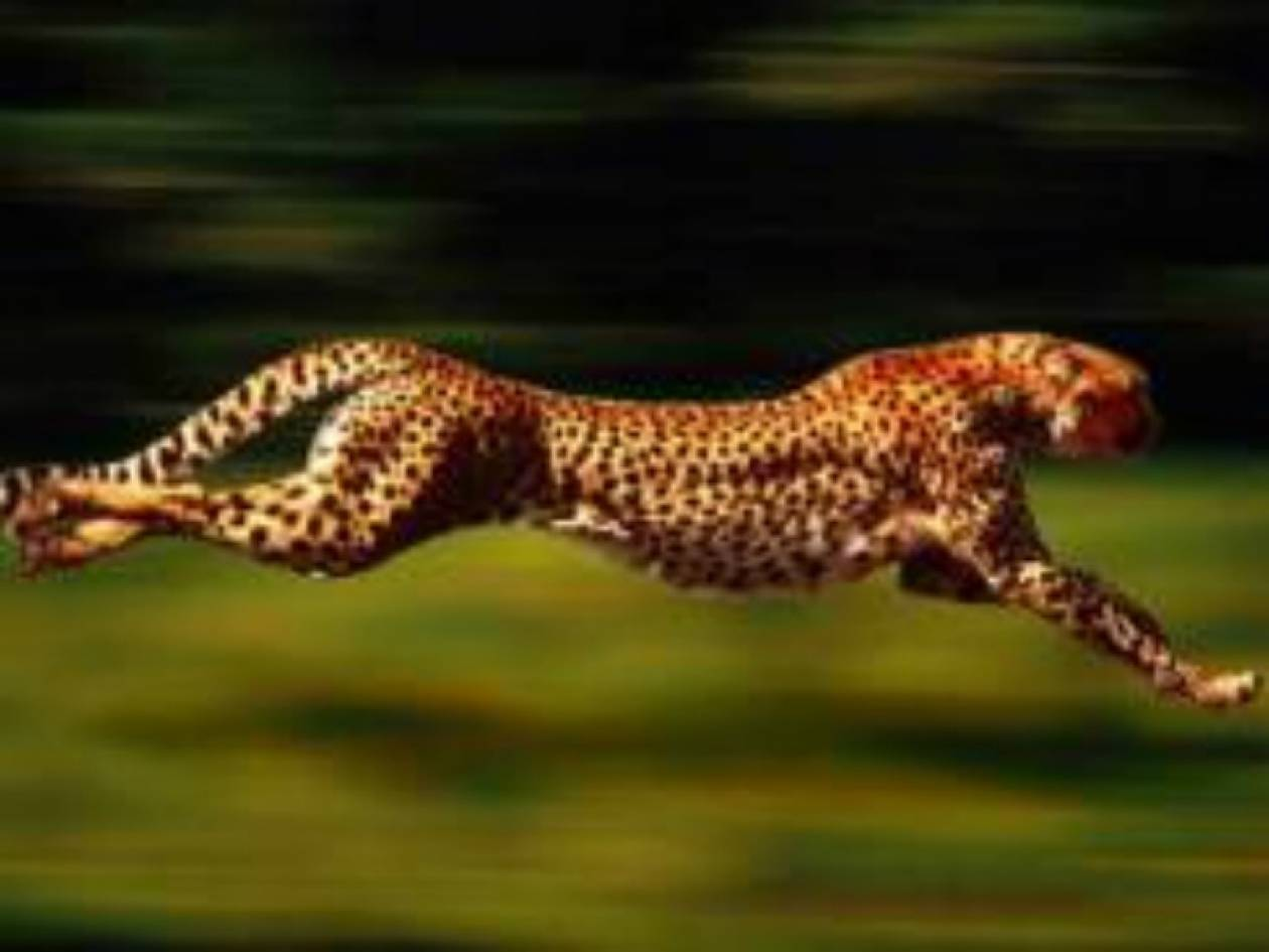 Μια τσίτα έκανε παγκόσμιο ρεκόρ στα 100 μέτρα!