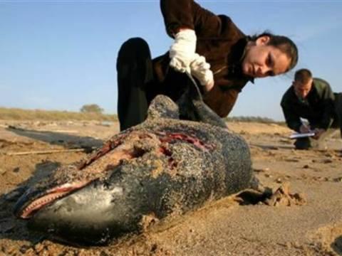 Δύο νεκρά δελφίνια σε παραλίες της Μαύρης Θάλασσας