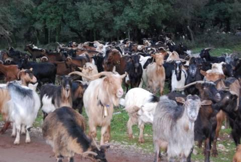 Κάηκαν αιγοπρόβατα στην Καστοριά