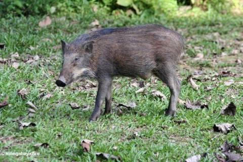 Τρίκαλα: Αγριογούρουνα έφαγαν ...μοσχαράκι