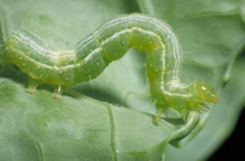 Καρδίτσα: Το πράσινο σκουλήκι «θερίζει» τις βαμβακοκαλλιέργειες
