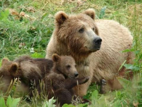 Αρκούδες «διέρρηξαν» σπίτι και ήπιαν 100 κουτάκια μπύρας