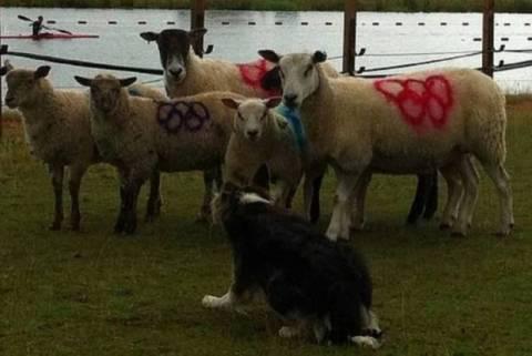 Ολυμπιακοί Αγώνες: Τα επίσημα πρόβατα των Ολυμπιακών Αγώνων (photos)