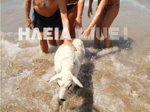 Μπέλα: Η προβατίνα που κάνει μπάνιο σε παραλία της Ηλείας (vid)