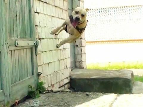 Βίντεο: Ο σκύλος που κάνει parkour και σαρώνει στο You Tube
