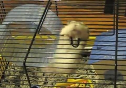 Video: Το χάμστερ που δεν άντεξε τη φυλακή