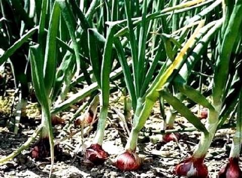 Καλλιεργήστε κρεμμύδι για καλύτερη υγεία