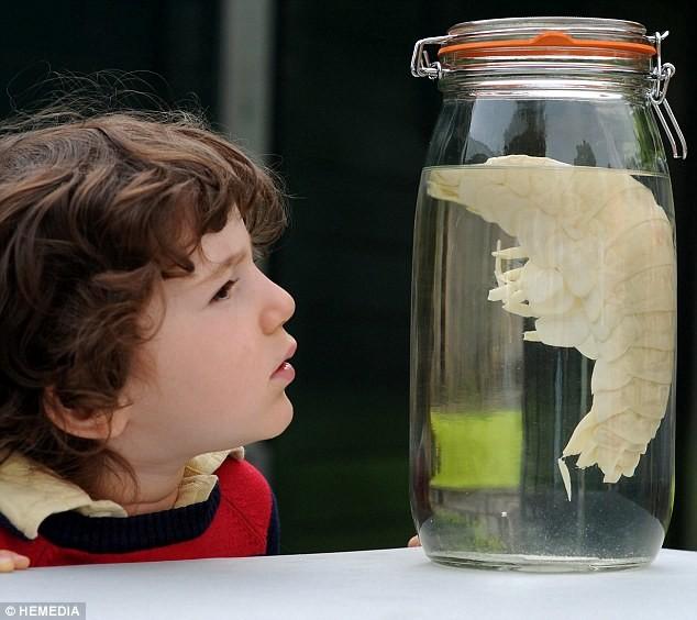 Ανακαλύφθηκε γαρίδα - γίγαντας (pics)