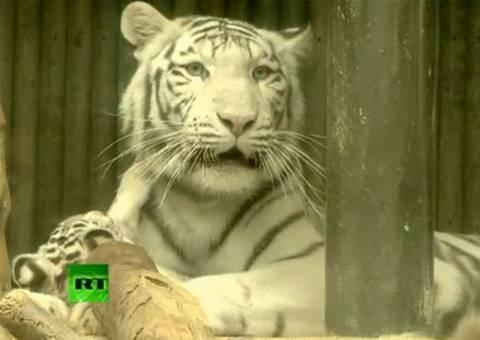 Βίντεο: Σπάνια λευκά τιγράκια στην πρώτη τους επαφή με το κοινό