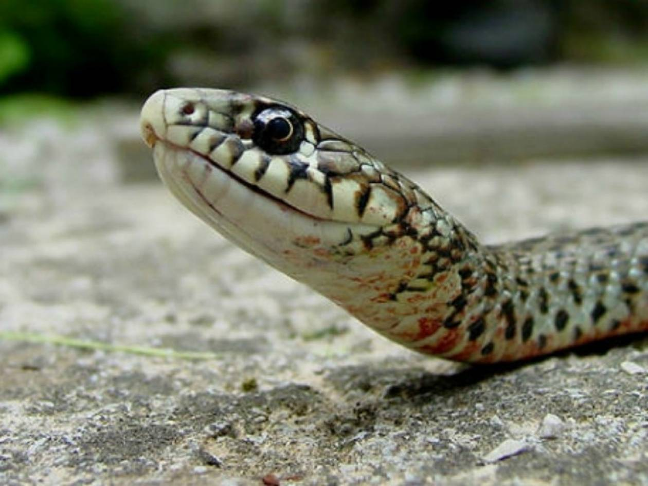 Φίδι πετάχτηκε μέσα από τον άρτο σε εκκλησία