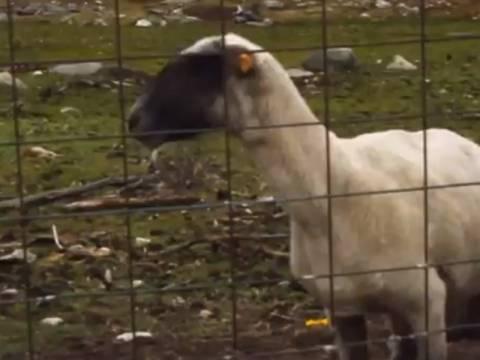 Βίντεο: Το πρόβατο που ουρλιάζει!