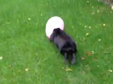 Βίντεο: Λαγουδάκι... ερωτευμένο με μπαλόνι!