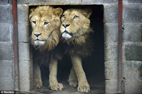 Λιοντάρια απελευθερώνονται στην άγρια φύση (pics)