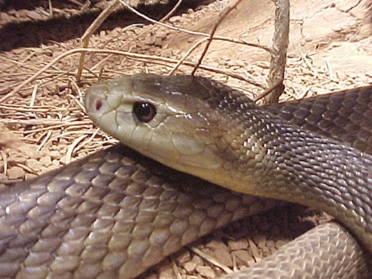 Τον δάγκωσε ένα από τα πιο δηλητηριώδη φίδια του κόσμου