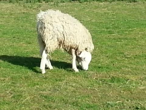 Πρόβατο με... ανάποδο κεφάλι! (vid)
