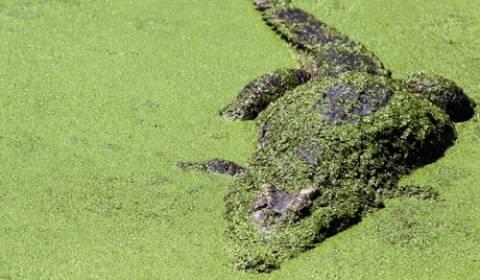 Απίστευτο! Εκατοντάδες κροκόδειλοι διέφυγαν από φάρμα στο Βιετνάμ