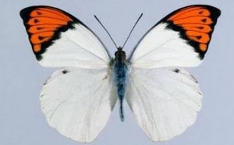 Όμορφη ασιατική πεταλούδα έκρυβε θανάσιμο μυστικό