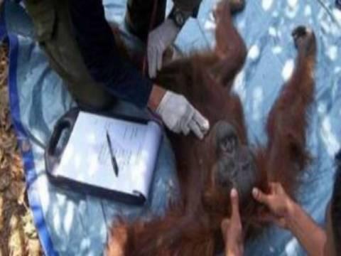 Συγκλονιστικό: Ουρακοτάγκος επέζησε μετά από 100 σφαίρες!