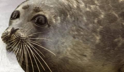 Απίστευτο! Αρκτικές φώκιες-κομάντος!