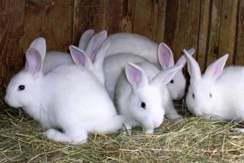 Ρέθυμνο: Τους «έφαγαν» τα κουνέλια!