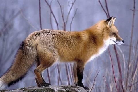 Κυνηγοί προσοχή! Κυκλοφορεί λύσσα