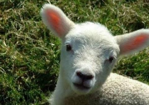 Απίστευτο Βίντεο: Ενα πρόβατο κάνει...τσαμπουκά!