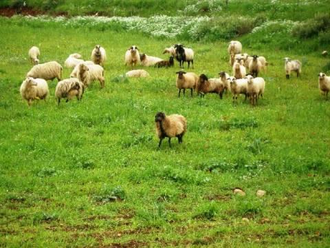 Μένουν χωρίς βοσκότοπους οι κτηνοτρόφοι της Ξάνθης!