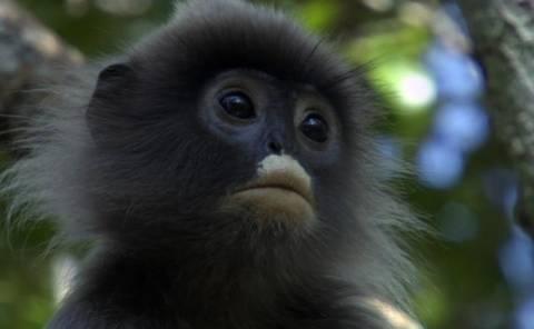Απίστευτο! Και οι πίθηκοι παθαίνουν κρίση ηλικίας!