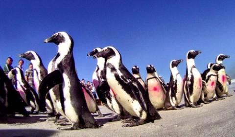 Βρέθηκε σκελετός πιγκουίνου-γίγαντα!