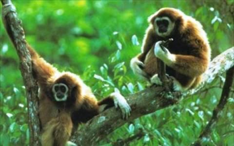 Οι πίθηκοι περνούν κρίση μέσης ηλικίας