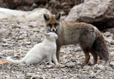Απίστευτο! Μία γάτα παίζει με μία αλεπού