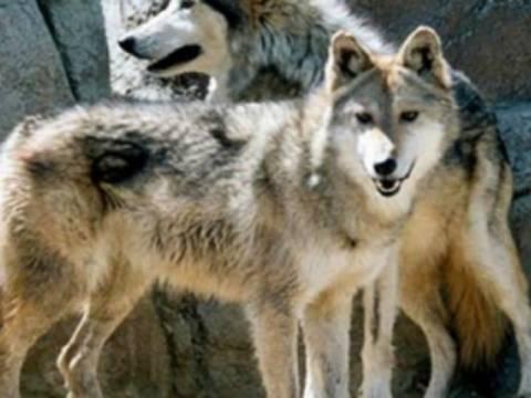 Βίντεο: Αγέλη λύκων κατασπάραξε κοπάδι κτηνοτρόφου