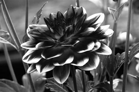 Το μυστικό του χρώματος της μαύρης ντάλιας