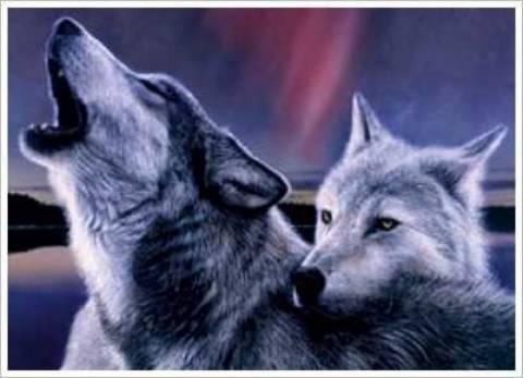 Αλεξανδρούπολη: Αγέλη λύκων κατασπάραξε κοπάδι με πρόβατα!
