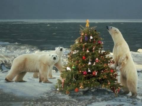 Οι πολικές αρκούδες γιορτάζουν τα Χριστούγεννα (pics)