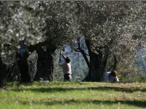 Αγγελία: Εργοδότης ζητά ΜΟΝΟ Έλληνες εργάτες για τις ελιές