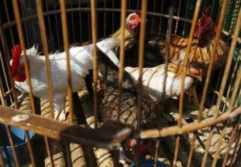 Φόβοι για επιδημία γρίπης των πτηνών στην Ινδονησία
