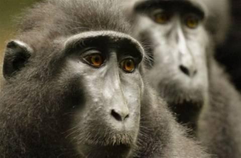 Washington Post: Πίθηκοι μακάκοι απειλούν τον στρατό των ΗΠΑ