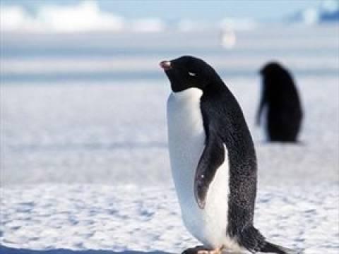 Δείτε έναν πιγκουίνο να καταβροχθίζει το μικρό του!