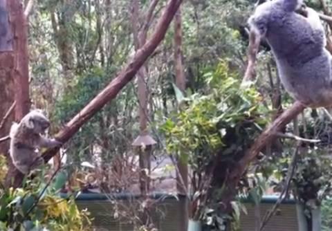 Bίντεο: Δείτε πως μία μανούλα προσπαθεί να σώσει το μικρό κοαλάκι της